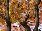 Fall Leaves on Maple Tree, Japan