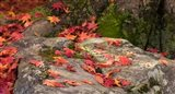 Fallen Autumnal Leaves on Rock