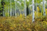 Aspen Trees in Maroon Creek Valley, Aspen, Colorado