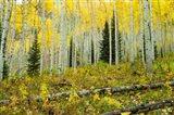 Forest, Maroon Bells, Aspen, Colorado