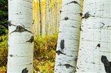 Detail of Aspen Tree, Colorado