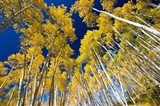 Aspen Tree Tops in Maroon Bells, Aspen, Colorado