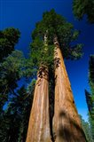 Giant Sequoia Tree in a Forest, Sequoia National Park, California