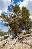 Ancient Bristlecone Pine Forest in the White Mountains, California