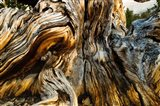 Close-Up of Pine tree, Ancient Bristlecone Pine Forest, White Mountains, California
