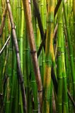 Bamboo Trees, Maui, Hawaii