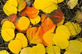 Close-Up of Fallen Leaves, Maroon Creek Valley, Aspen, Colorado