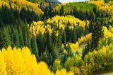 Elevated View of Aspen trees, Maroon Creek Valley, Aspen, Colorado