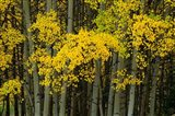 Autumn Trees in Maroon Creek Valley, Aspen, Colorado