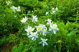 White Flowers in a field, Crested Butte, Colorado