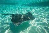 Stingray in the Pacific Ocean, Moorea, Tahiti, French Polynesia