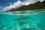 Sharks in the Pacific Ocean, Moorea, Tahiti, French Polynesia