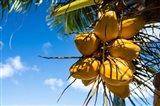 Coconuts Hanging on a Tree, Bora Bora, French Polynesia