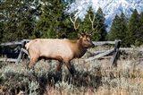 Elk in Field, Grand Teton National Park, Wyoming