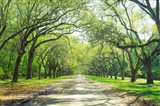 Live Oaks and Spanish Moss Wormsloe State Historic Site Savannah GA