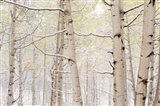 Autumn Aspens With Snow, Colorado
