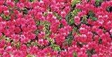 Red Azalea Flowers, Sacramento, California