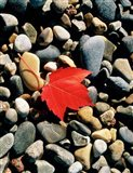 Maple Leaf on Pebbles