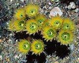 High angle view of cactus flowers, Big Bend National Park, Texas, USA