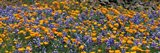 California Golden Poppies (Eschscholzia californica) and Bush Lupines (Lupinus albifrons), Table Mountain, California, USA