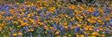 California Golden Poppies (Eschscholzia californica) and Bush Lupines (Lupinus albifrons), Table Mountain, California, USA