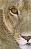 Lioness Close-Up Tanzania Africa