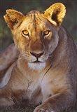 Lioness Tanzania Africa