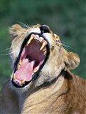 Lioness Yawning, Tanzania Africa