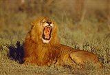 Roaring Lion Tanzania Africa