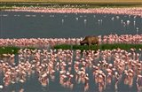 Cape Buffalo Grazing among Flamingos