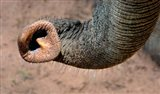 African elephant, (Loxodonta africana), Elephant Trunk, Samburu National Reserve, Kenya