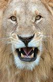 Close-up of a lion (Panthera leo) yawning, Masai Mara National Reserve, Kenya