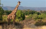 Giraffe walking across plain, Kenya