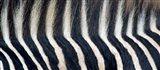Close-up of a Greveys zebra stripes and mane