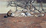 Cheetah, Ndutu, Ngorongoro, Tanzania