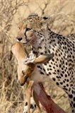 Cheetahs (Acinonyx jubatus) and Prey, Samburu National Park, Rift Valley Province, Kenya