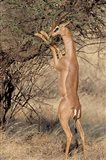 Male gerenuk (Litocranius waller) eating leaves, Samburu National Park, Rift Valley Province, Kenya