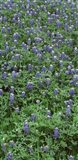 High angle view of plants, Bluebonnets, Austin, Texas, USA