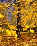 Yellow Tree Leaves, Stuttgart, Germany