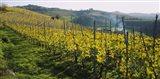 Panoramic view of vineyards, Peidmont, Italy