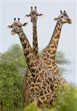 Three Masai giraffe standing in a forest, Lake Manyara, Lake Manyara National Park, Tanzania