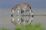 Two zebras drinking water from a lake, Ngorongoro Conservation Area, Arusha Region, Tanzania (Equus burchelli chapmani)