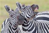 Close-up of two zebras, Ngorongoro Crater, Ngorongoro Conservation Area, Tanzania