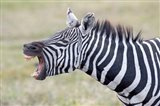 Close-up of a zebra braying, Ngorongoro Crater, Ngorongoro Conservation Area Tanzania