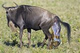 Side profile of a wildebeest giving birth to its calf, Ngorongoro Crater, Ngorongoro Conservation Area, Tanzania