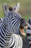 Close-up of a zebra calling, Ngorongoro Crater, Ngorongoro Conservation Area, Tanzania
