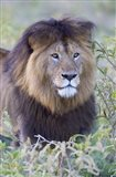 Close-up of a Black maned lion, Ngorongoro Crater, Ngorongoro Conservation Area, Tanzania