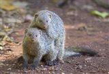 Two mongoose mating, Lake Manyara National Park, Tanzania
