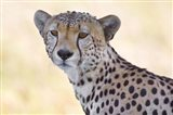 Close-up of a cheetah, Ngorongoro Conservation Area, Arusha Region, Tanzania (Acinonyx jubatus)