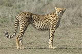 Side profile of a cheetah, Ngorongoro Conservation Area, Arusha Region, Tanzania (Acinonyx jubatus)